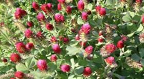 Φυτοοιστρογόνα : Τροφή ή φάρμακο